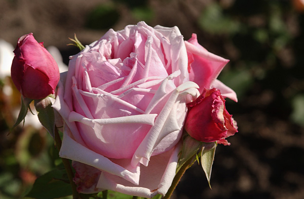Houten Keuken La France Rose : Rosa  La France  Floral and botanical image library
